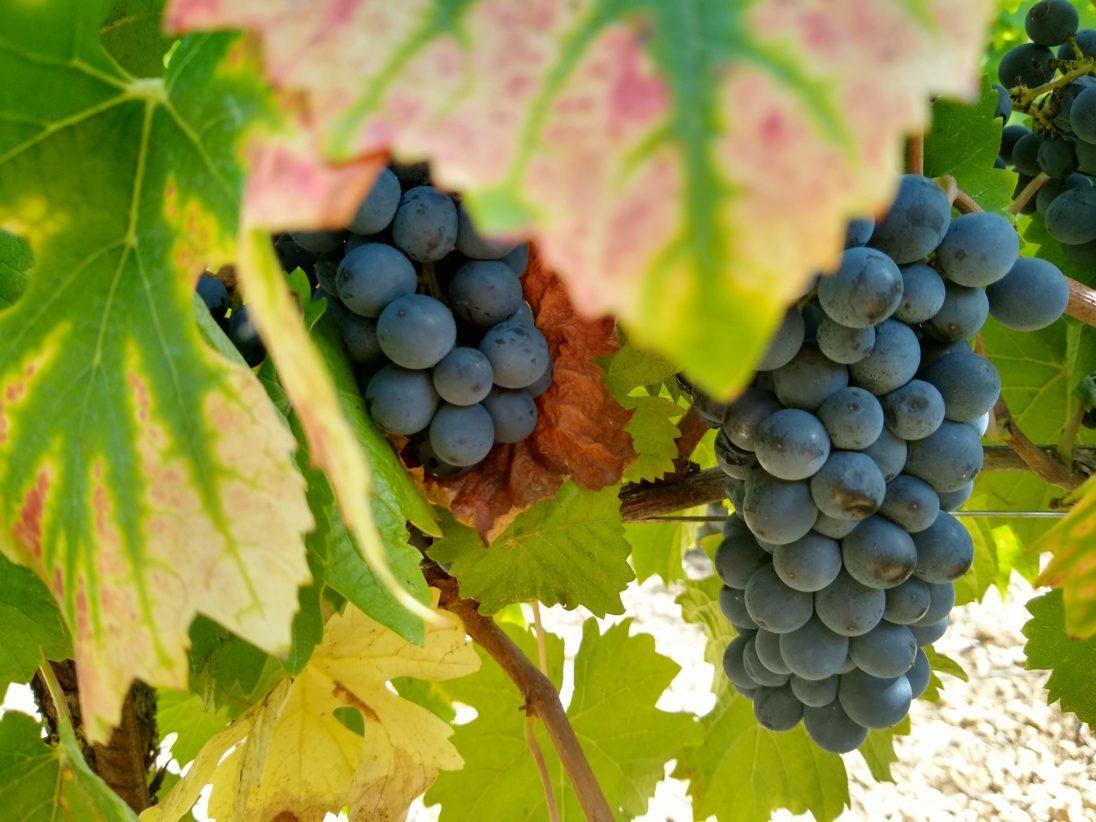 Ripened merlot grapes